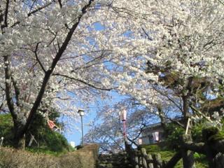 桜満開IN丸岡