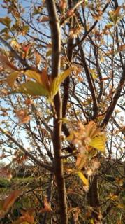 さくらんぼが葉桜に